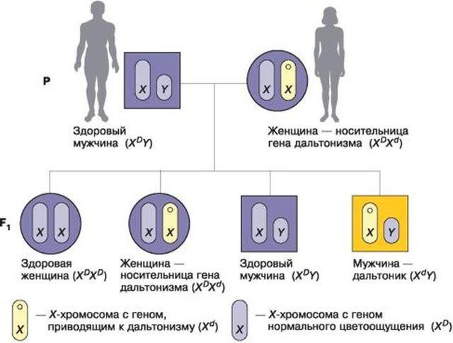 Как наследуется дальтонизм - передается ли ген по наследству