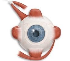 Мышцы глазного яблока - строение, функции