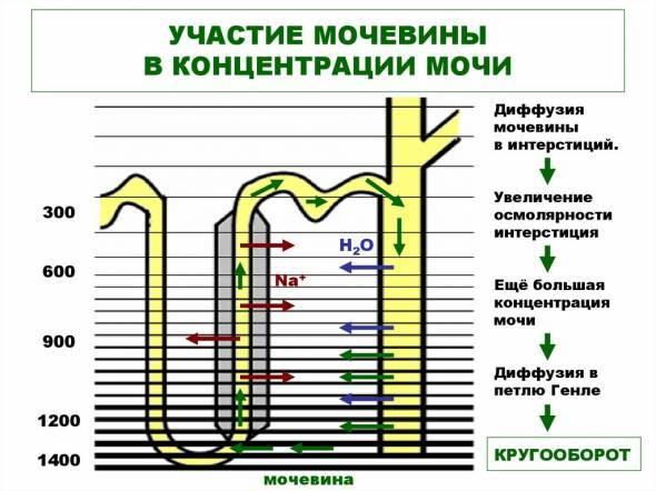 Повышенные и пониженные показатели мочевины в моче