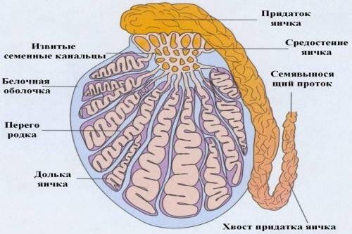Строение мочеполовой системы у мужчин и женщин