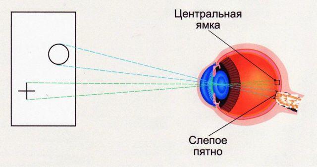 Слепое пятно глаза - что это, строение, функции, где находится
