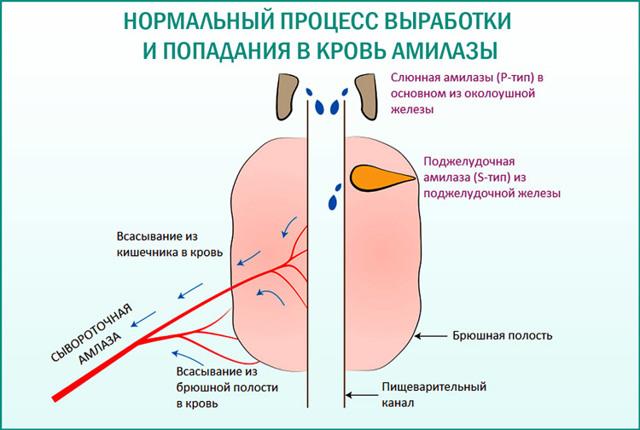 Анализ на диастазу: нормы фермента в моче и крови у взрослых и детей