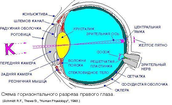 Конъюнктива глаза - что это, строение и функции